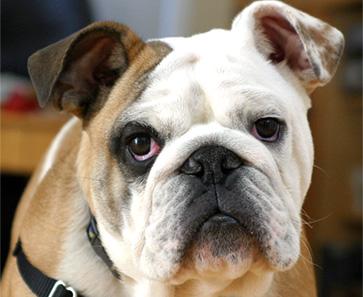 Available Bulldogs - Long Island Bulldog Rescue